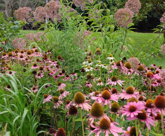 Purple and White Echinacea, gorwing in front of Joe-pye weed.