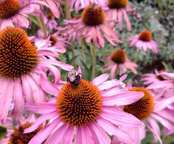 Bumblebee on echinacea.