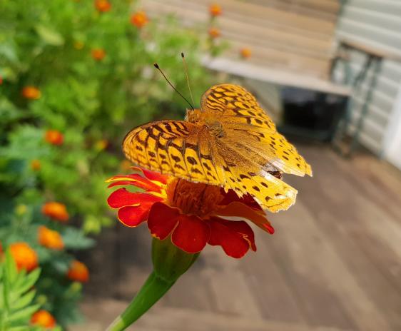 Fritillary butterfly on a marigold.
