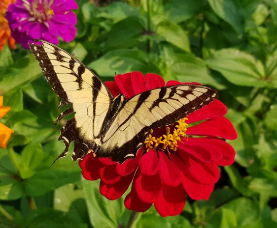 Eastern tiger swallowtail butterfly on a red zinnia.