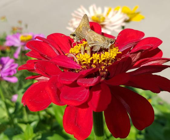 Two small skipper butterflies on a red zinnia.
