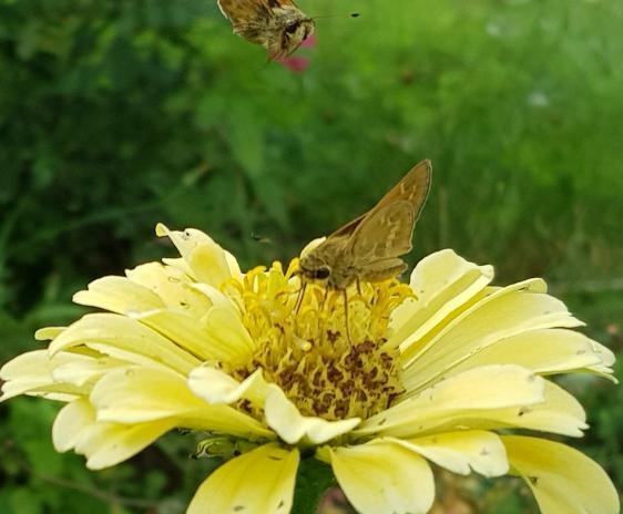 Skipper butterflies visiting a yellow zinnia.