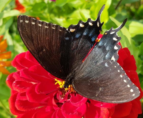 Dark morph swallowtail butterfly on a red zinnia.