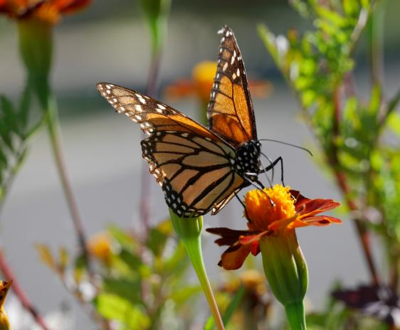 Monarch butterfly on a marigold.